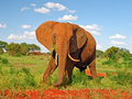 Red Elephant In Savannah With Blue Sky Stock Photo - 17739000
