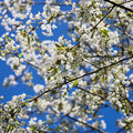 Cherry Blossom Stock Photography - 17776262