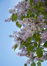 Lilac Tree Royalty Free Stock Image - 17779586