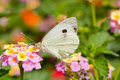 Butterfly Feeding On Flowers Royalty Free Stock Photo - 17781765