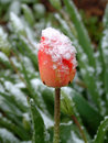 Tulip With Snow Stock Images - 1781584