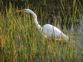 In Tall Grasses :Great Egret Stock Photography - 1786662