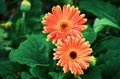 Orange Gerbera Flowers Royalty Free Stock Photos - 17832828