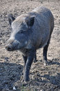 Wild Boar Stock Images - 17834684