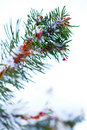 Winter Snow Covered Pine Tree Branch Royalty Free Stock Photography - 17840857