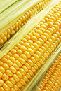 Golden Corn Stock Photography - 17844942