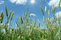 Wheat Ears Against The Backdrop Of A  Sky Royalty Free Stock Images - 17850229