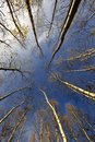 Birch Trees And Blue Sky Stock Photography - 17850602