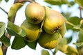 Pears On Tree Royalty Free Stock Images - 17862959