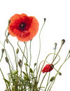 Red Poppy Royalty Free Stock Image - 17890586
