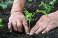 Planting A Tomatoes  Seedling Stock Photo - 17896720
