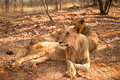 Lions Resting Royalty Free Stock Photo - 17929215