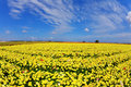 The Fields Flowers Buttercups Royalty Free Stock Photos - 17937958