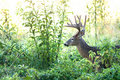 Large Whitetail Deer Buck In The Brush Royalty Free Stock Image - 17942736