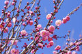 Spring Plum Blossom Branches Pink Flower Royalty Free Stock Photography - 17958237