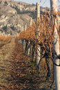 Winter Vineyard With Shallow Focus Royalty Free Stock Photo - 17978105