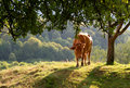 Cow On A Sunny Meadow Stock Image - 18022761