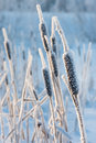 Cattail In The Frost Stock Image - 18032671