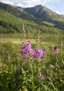 Wildflowers And Mountains In Alaska Royalty Free Stock Photo - 18060515