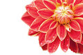 Red Dahlia Royalty Free Stock Images - 18070439