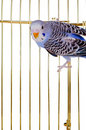 Parrot On A Lattice Cage Royalty Free Stock Photography - 18098897