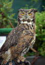 Great Horned Owl Stock Photos - 18103363