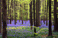 Young Green Foliage And Bluebells Royalty Free Stock Photo - 18121215
