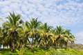 Coconut Trees In The  Garden Stock Photo - 18134480