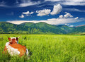 Cow On The Grassland Royalty Free Stock Photo - 18134835