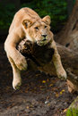Female Lion In A Tree Stock Photo - 18137450