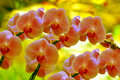 Sonata Of Orchids Stock Images - 18147884