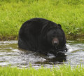 American Black Bear Stock Photos - 18148163
