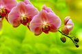 Orchids Sonata Stock Images - 18156444