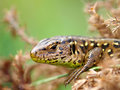 Sand Lizard Royalty Free Stock Image - 18185666