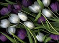 Purple And White Tulips Stock Image - 18191061