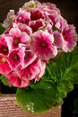 Primrose On Pot Royalty Free Stock Photography - 18266607