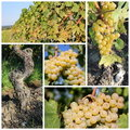 Sunny Green Grape Collage Royalty Free Stock Photography - 18291497