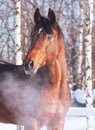 Winter Portrait Of Bay Horse Royalty Free Stock Photography - 18295927
