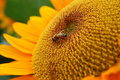 Sunflower And Bee Stock Photography - 18298422