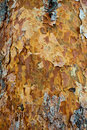 Pine Bark Texture. Royalty Free Stock Image - 18342476