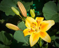 Yellow Lily In The Garden Royalty Free Stock Photo - 18384325