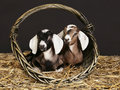 Anglo-nubian Goats In The Basket Royalty Free Stock Images - 18385749