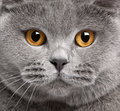 Close-up Of British Shorthair Cat Stock Photography - 18443902