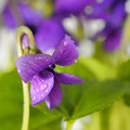 Closeup On Common Violet Flower With Dew Stock Images - 18485074
