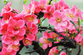 Chinese Flowering Crab Apple Royalty Free Stock Photo - 18495605