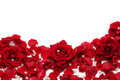 Red Roses Royalty Free Stock Photos - 1856998