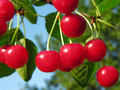 Ripe Cherries Stock Photo - 18500740