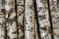 Birch Trunks Royalty Free Stock Images - 18551099