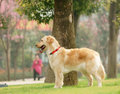 Golden Retriever Dog Stand On The Grass Lawn Royalty Free Stock Image - 18574746