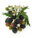 Blackberries Royalty Free Stock Photography - 18580207